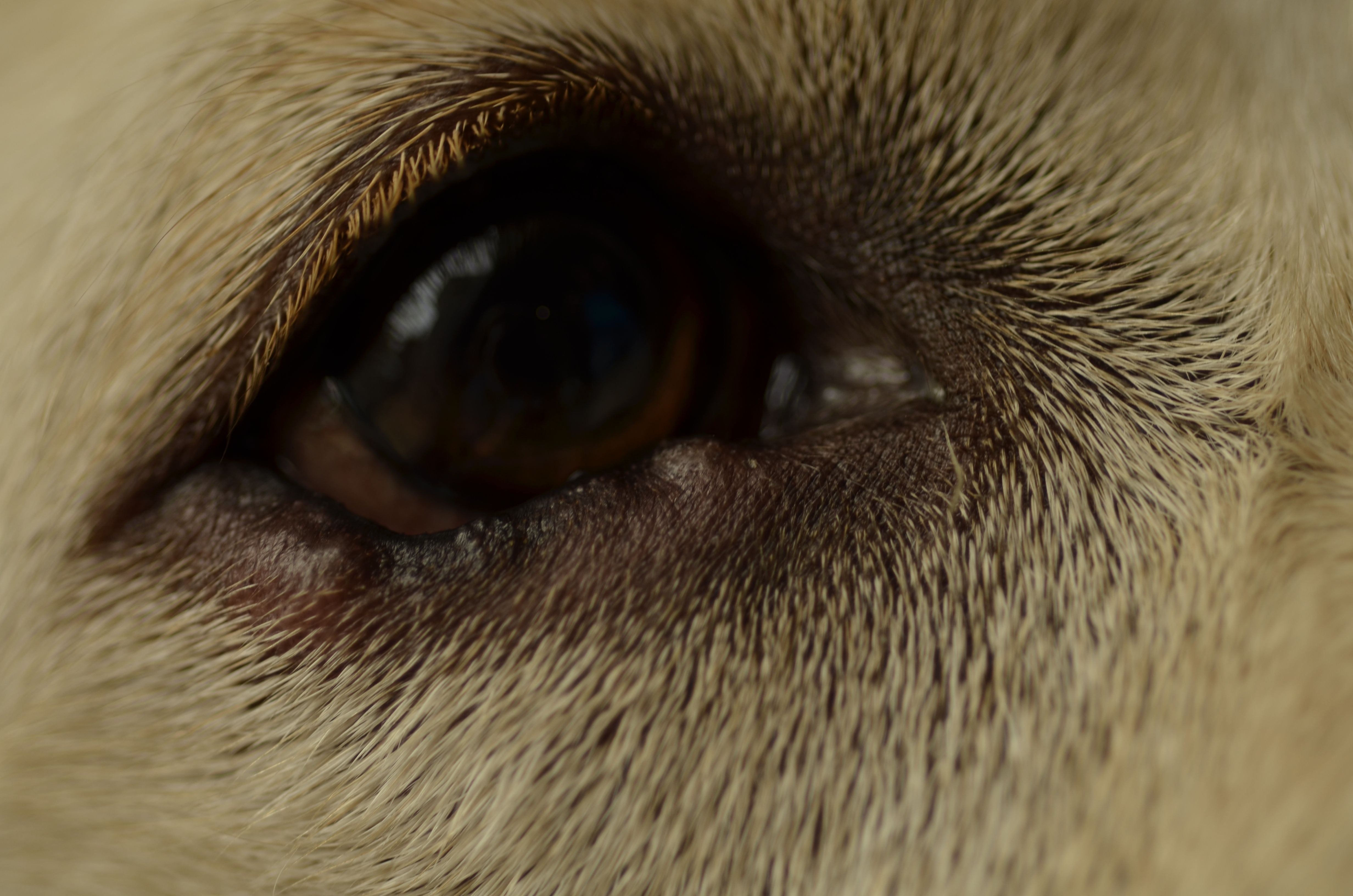 Cherry Eye In Cats Treatments